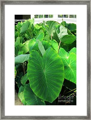 Hawaiian Kalo - Taro Patch Framed Print by Craig Wood