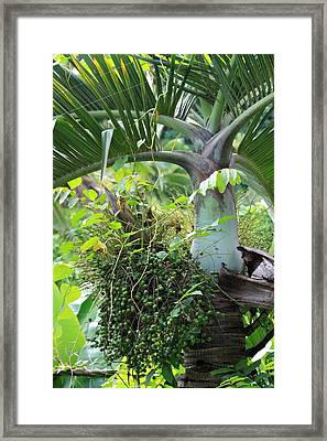 Hawaiian Palm Inflorescence  Framed Print by Karon Melillo DeVega