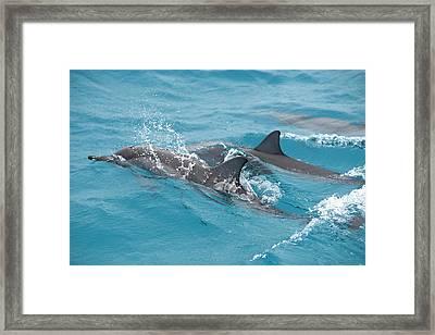 Hawaiian Spinner Dolphin / Stenella Framed Print