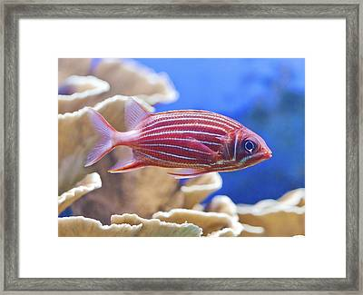 Hawaiian Squirrelfish Framed Print by Maj Seda