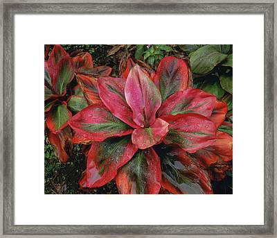 Hawaiian Ti Plant Framed Print by Douglas Peebles