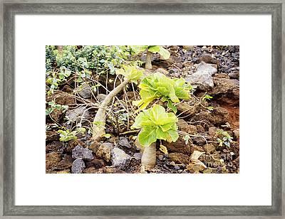 Hawaiin Alula Framed Print