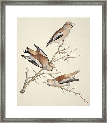 Hawfinches, 19th Century Artwork Framed Print by Science Photo Library