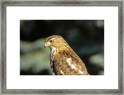 Hawk 2 Framed Print