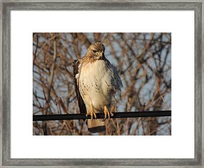 Hawk #21 Framed Print by Todd Sherlock