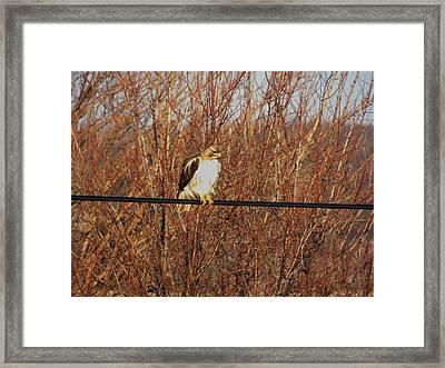 Hawk #22 Framed Print by Todd Sherlock