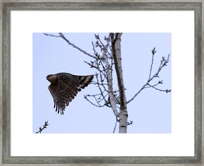 Hawk And Birch Framed Print by Valerie Wolf