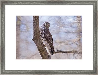 Hawk At Cypress Island Framed Print by Bonnie Barry