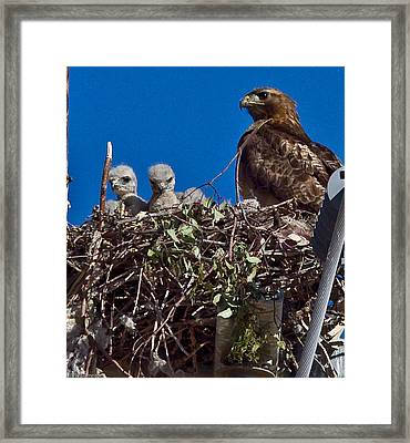 Framed Print featuring the photograph Hawk Babies by Brian Williamson