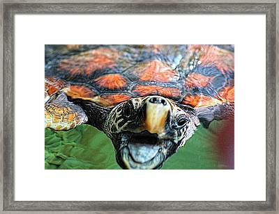 Hawk Billed Turtle Framed Print