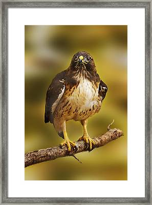 Framed Print featuring the photograph Hawk  by Brian Cross