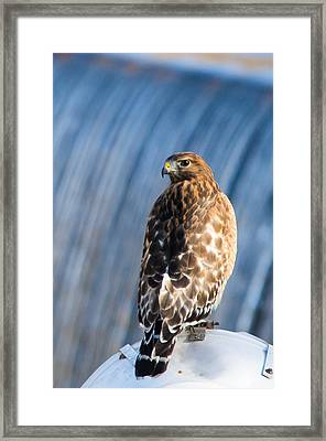 Hawk By The Waterfall Framed Print by Shelby  Young