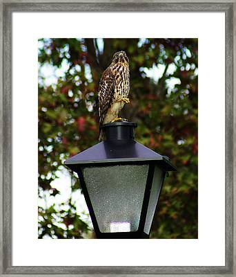 Framed Print featuring the photograph Hawk Dancing by B Wayne Mullins