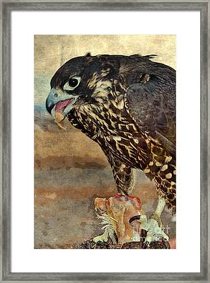 Hawk Dining On Chicken Framed Print