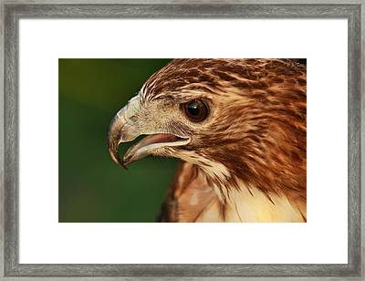 Hawk Eye Framed Print by Dan Sproul