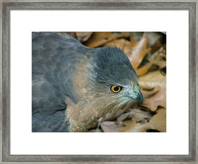 Hawk Eyes Up Close Framed Print