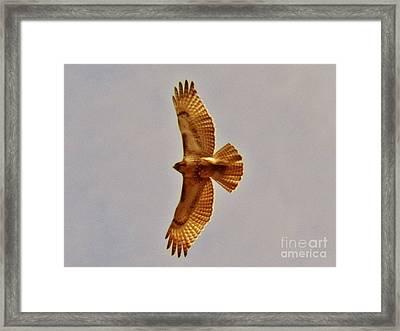 Hawk Flight Framed Print by Judy Via-Wolff