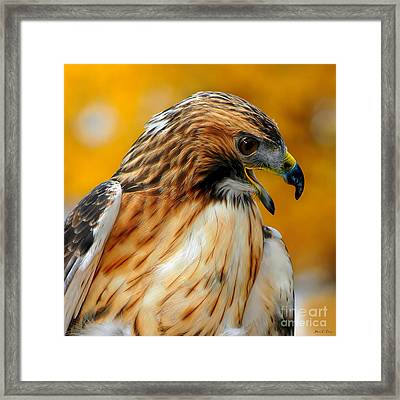 Hawk Hunt Framed Print