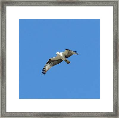 Hawk In Flight Framed Print by Fortunate Findings Shirley Dickerson