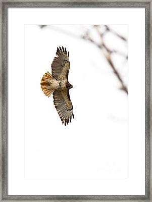 Hawk In Flight Framed Print by Jill Bell