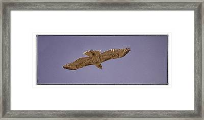 Hawk In Flight Framed Print