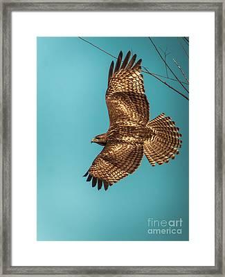 Hawk In Flight Framed Print