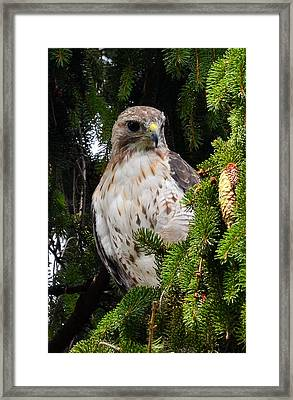 Hawk In Pine Framed Print