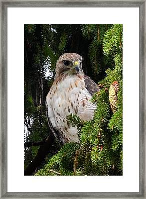 Hawk In Pine Framed Print by Michael Hubley