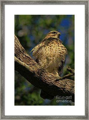Hawk In Soft Light Framed Print by Deborah Benoit