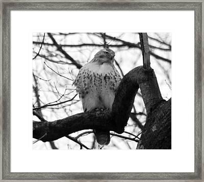 Hawk In Tree Framed Print by Valerie Wolf