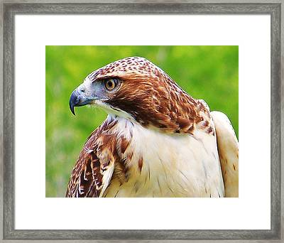 Hawk Is Focused Framed Print