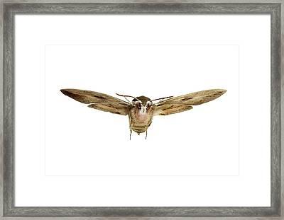Hawk Moth In Flight Framed Print by F. Martinez Clavel