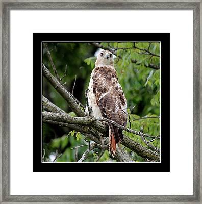 Hawk On Alert Framed Print by Rosanne Jordan