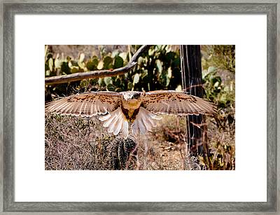 Hawk On The Hunt Framed Print by Bonnie Fink