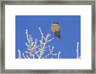Hawk Owl Perched On Hoarfrosted Framed Print by Doug Lindstrand