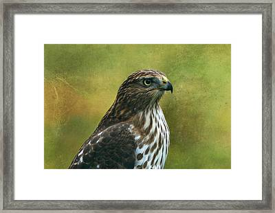 Hawk Portrait Framed Print by Sandy Keeton