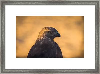 Hawk Profile Framed Print by Marc Crumpler