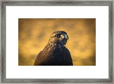Hawk Stare Framed Print by Marc Crumpler