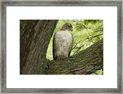 Hawk Stares Framed Print