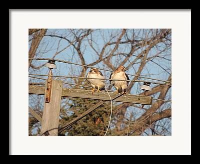 Two Hawks On A Telephone Pole Red Tail Framed Prints