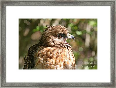 Hawk With An Attitude Framed Print by Kevin McCarthy