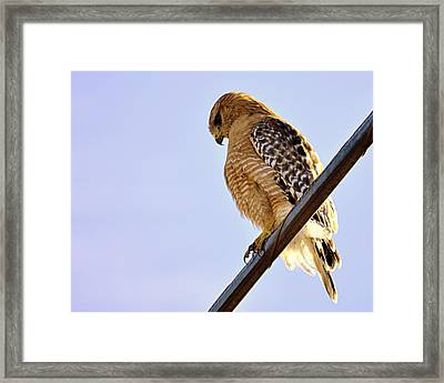 Hawkeye Framed Print by AJ  Schibig