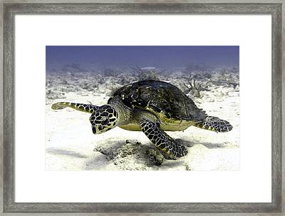 Hawksbill Caribbean Sea Turtle Framed Print