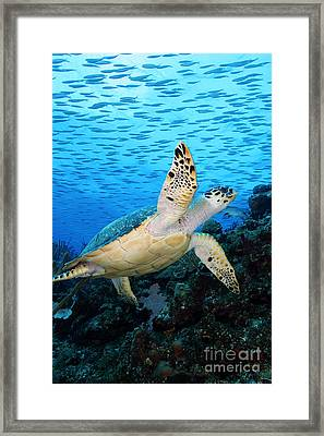 Hawksbill On Eldorado Framed Print by Carey Chen