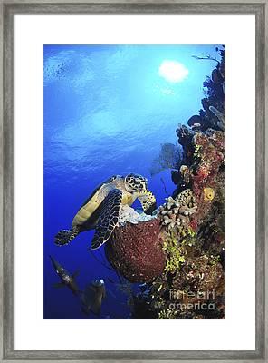 Hawksbill Sea Turtle And Gray Angelfish Framed Print