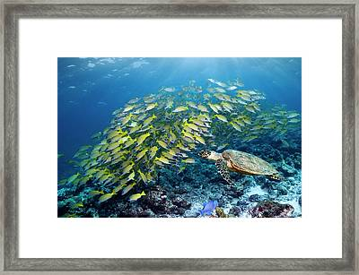 Hawksbill Turtle And Blueline Snappers Framed Print by Georgette Douwma