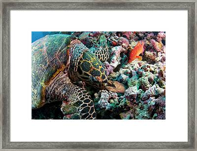 Hawksbill Turtle Encouners An Angry Eel Framed Print by Scubazoo