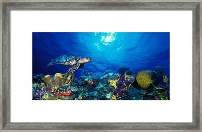 Hawksbill Turtle Eretmochelys Imbricata Framed Print