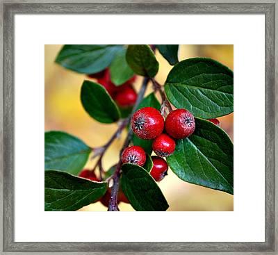 Hawthorn Berries Framed Print by Kjirsten Collier