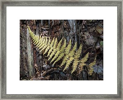 Hay-scented Fern Framed Print by Andrew Pacheco
